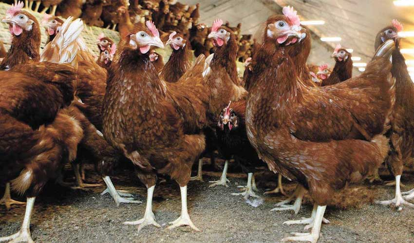 Poultry farming and vaccination